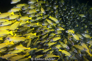 Massive school of snapper up close by Conor Culver