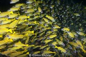 Massive school of snapper up close by Conor Culver