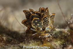Nudibranch Cyerce nigra by Oksana Maksymova