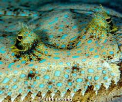 Peacock Flounder by John Loving