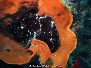 Giant Frogfish, Antennarius commerson, Bangka Island, Ind... by Pauline Walsh Jacobson