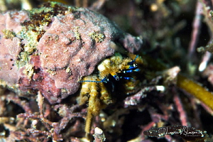 Blue-Eyed Crab/Photographed with a Canon 100 mm macro len... by Laurie Slawson