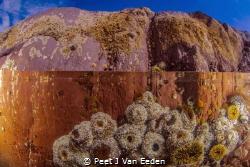 Rock pool with sandy anemones by Peet J Van Eeden