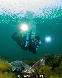 Giant Austealian cuttlefish in mating season 