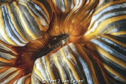 Unfolding sea-anemone revealing the less known side of it. by Peet J Van Eeden