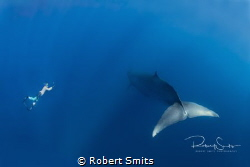 Did you know that Brydeswhales are 12-14 m long and that ... by Robert Smits