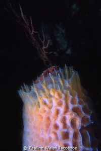 Azure Vase Sponge, British Virgin Islands by Pauline Walsh Jacobson