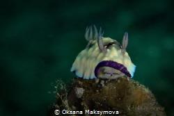 Nudibranch Goniobranchus hintuanensis by Oksana Maksymova