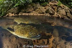 Blue eyes eel by Greg Fleurentin