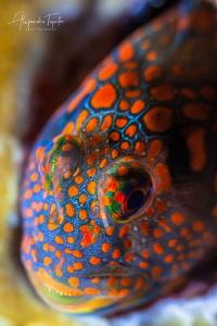 Colorfull blenny, Isla Lobos Mexico by Alejandro Topete