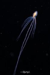 Long arm octopus in black water dive. By Nikon Z7, 60mm a... by Qunyi Zhang
