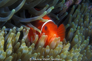 Spinecheek Anemonefish, Premnas biaculeatus, Great Barrie... by Pauline Walsh Jacobson