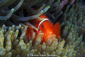 Spinecheek Anemonefish, Premnas biaculeatus, Great Barrie... by Pauline Walsh Jacobson
