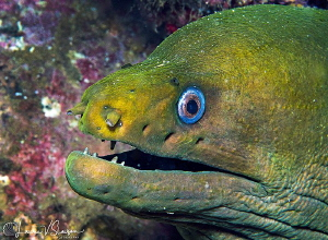 Green Moray Eel/Photographed with a Canon 60 mm macro len... by Laurie Slawson