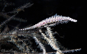 Banded Tozeuma Shrimp/Photographed with a Canon 60 mm mac... by Laurie Slawson