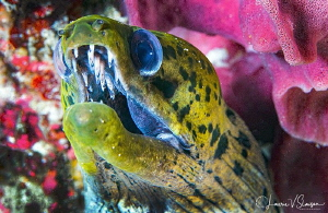 Fimbriated Moray Eel/Photographed with a Canon 100 mm mac... by Laurie Slawson