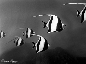 School of Moorish Idols/Photographed at Cabo San Lucas an... by Laurie Slawson