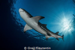 Lemon shark and sunlight by Greg Fleurentin