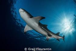 Lemon shark and sunlight by Greg Fleurentin