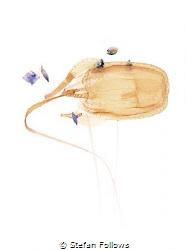 Reversi  Box Jellyfish - Morbakka virulenta  Sail Roc... by Stefan Follows