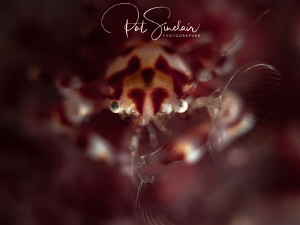 This little crab was busy in the soft coral feeding, so I... by Patricia Sinclair
