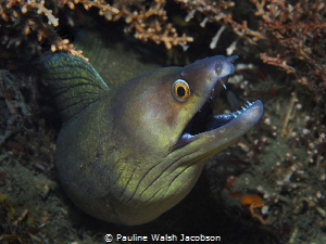 Purplemouth MorayEel, Gymnothorax vicinus by Pauline Walsh Jacobson