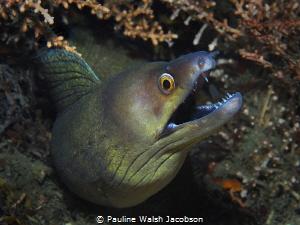Purplemouth MorayEel, Gymnothorax vicinus by Pauline Walsh Jacobson