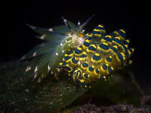 Costasiella kuroshimae vs Stiliger ornatus Tulamben, Bali by Aleksandr Marinicev