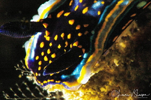 Felimare agassizii/Photographed with a 60 mm macro lens a... by Laurie Slawson