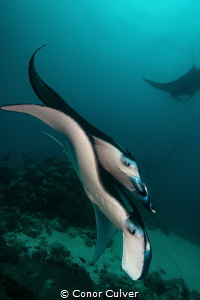 Two Mantas by Conor Culver