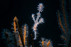 Male ghost pipefish by Julian Hsu