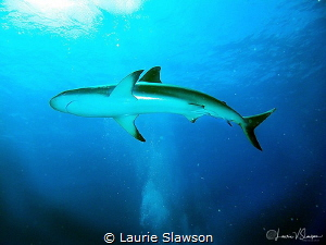 Shark in Sunlight/Photographed with a Canon G11 at the Ja... by Laurie Slawson