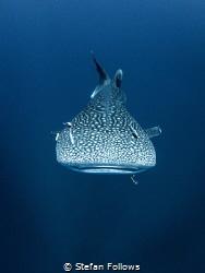Teardrop  Whale Shark - Rhincodon typus  Sail Rock, T... by Stefan Follows