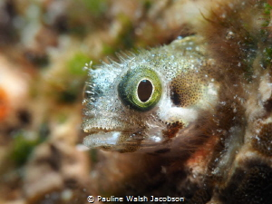 Spinyhead Blenny, Acanthemblemaria spinosa, Mingo Cay, U.... by Pauline Walsh Jacobson