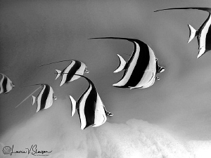 Twirling Moorish Idols/Color converted to black-and-white... by Laurie Slawson