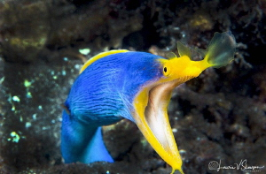 Male Ribbon Eel/Photographed with a 60 mm macro lens at L... by Laurie Slawson
