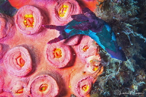 Nembrotha chamberlaini/Photographed with a Canon 60 mm ma... by Laurie Slawson