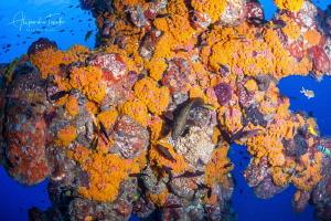 Fish and Coral tubastrea, Isla Lobos Mexico by Alejandro Topete