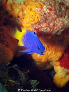 Fairy Basslet, Gramma loreto, Mingo Cay, U.S. Virgin Islands by Pauline Walsh Jacobson