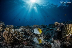 Seascape and butterfly fishes by Greg Fleurentin