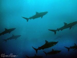 Sharks at Tahiti by Laurie Slawson