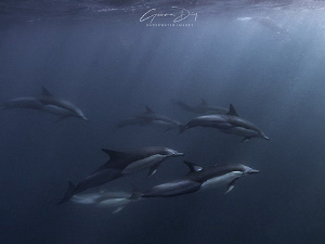 Common dolphins cruising past following a mobile baitball... by Gemma Dry