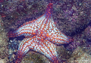 Couch Potato Sea Star/Photographed with a Canon 60 mm mac... by Laurie Slawson