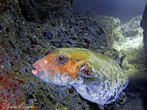 Blue-Spotted Puffer/Photographed with a Canon G11 at Suva... by Laurie Slawson