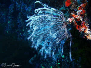 Crinoid on a Wall/Photographed with a Canon G11 at Wanana... by Laurie Slawson