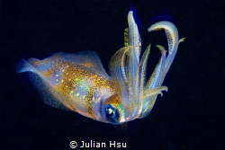 Bigfin reef squid by Julian Hsu