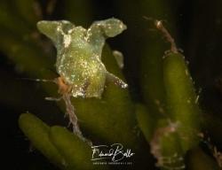Green weed nudibranch (groene wierslak, Elysia viridis) m... by Eduard Bello