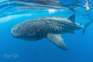 Whale Shark close, Isla Contoy México by Alejandro Topete
