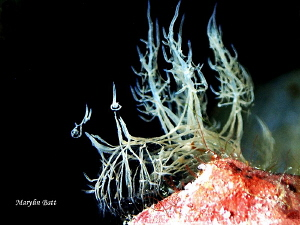melibe colmani, one of the most sought after nudi's for p... by Marylin Batt