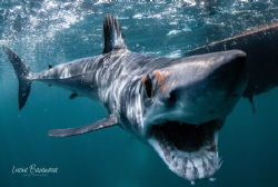 Curious shortfin Mako in Baja California smiling for the ... by Lucia Baranova